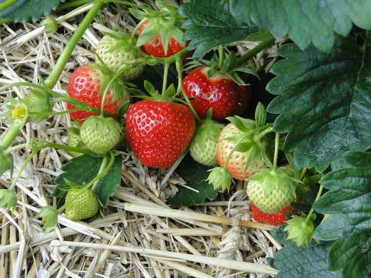 produce strawberries
