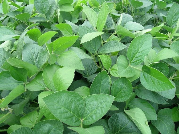 soy crop