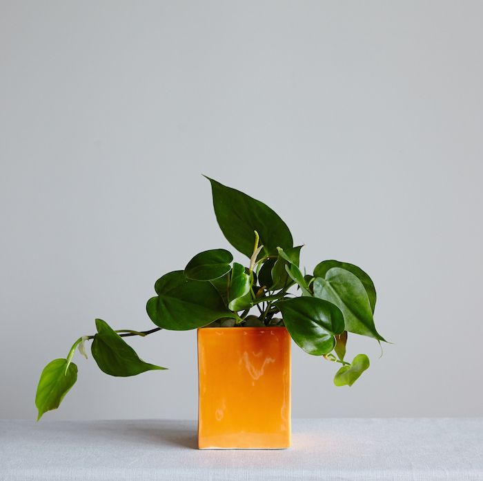 Olmsted_Orange_Philodendron