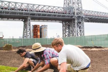 An organic farm grows (on the Domino Sugar grounds) in Brooklyn