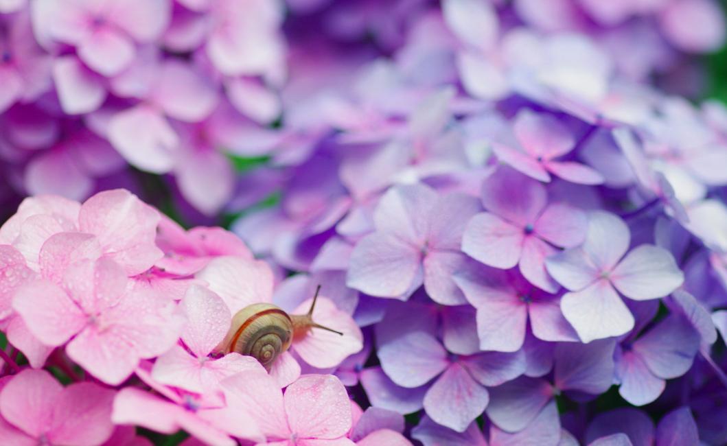 snails on hydrangeas