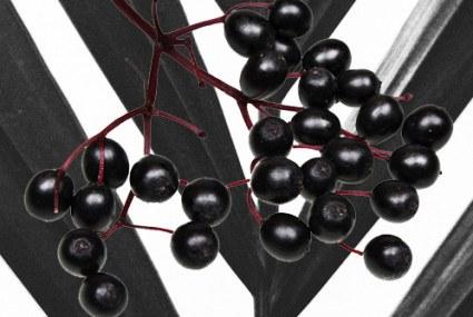 Power Plants – Elderberries