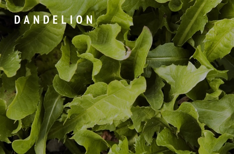 Dandelion-Greens-Guide