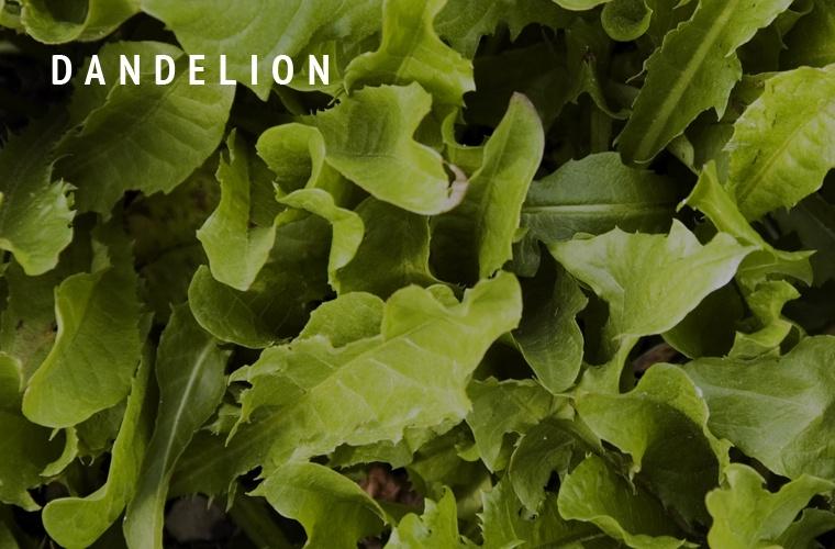 Dandelion-Greens-Guide