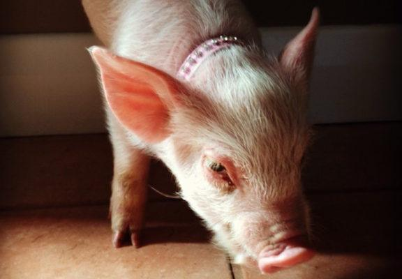 How Esther The Wonder Pig changed one couple's views on food forever