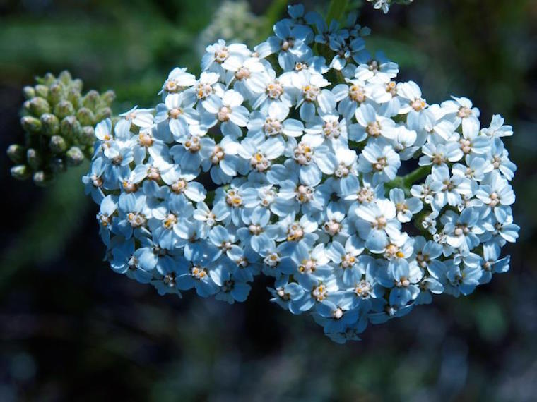 blue yarrow