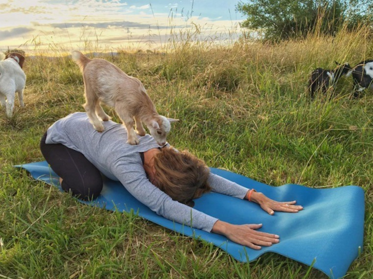 Thumbnail for There's a new animal to do yoga with: goats