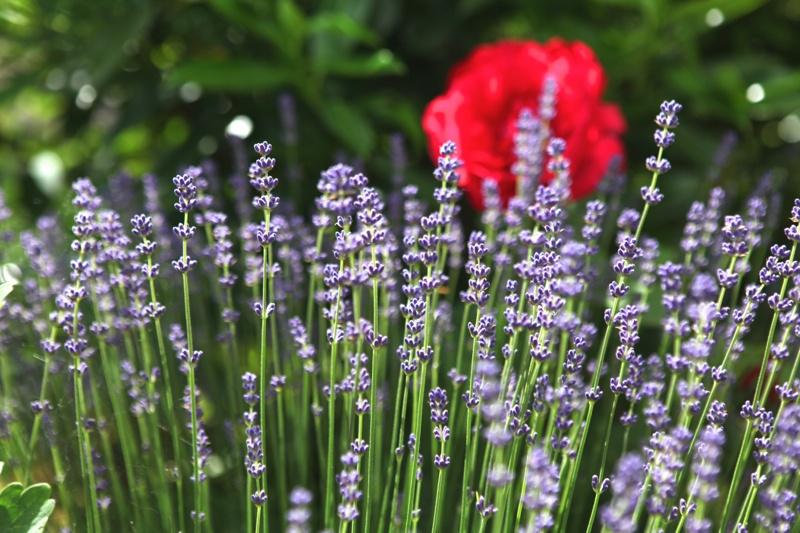 weleda-lavender