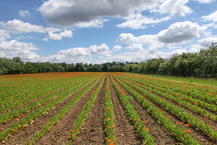 Calendula Weleda fields
