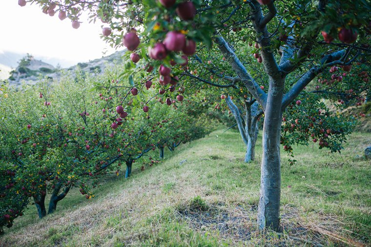 Apple tree in apple orchard