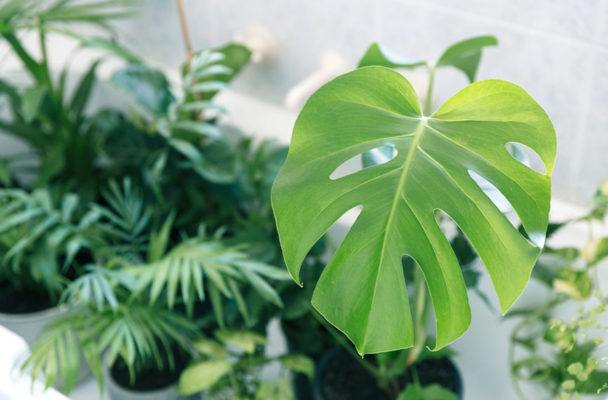 Monstera hysteria has broken out on Pinterest, but what on earth is the thing?