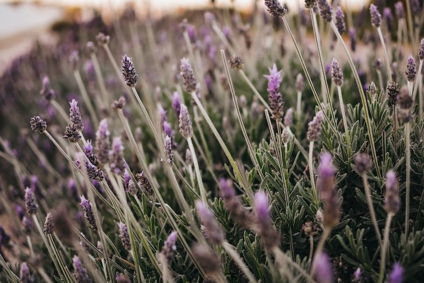 Thumbnail for 7 beyond brilliant ways to use lavender essential oil