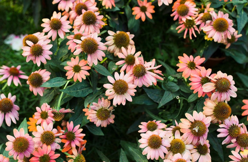 Thumbnail for What fights inflammation, boosts collagen, and relieves pain? Echinacea—and that's only half its health benefits