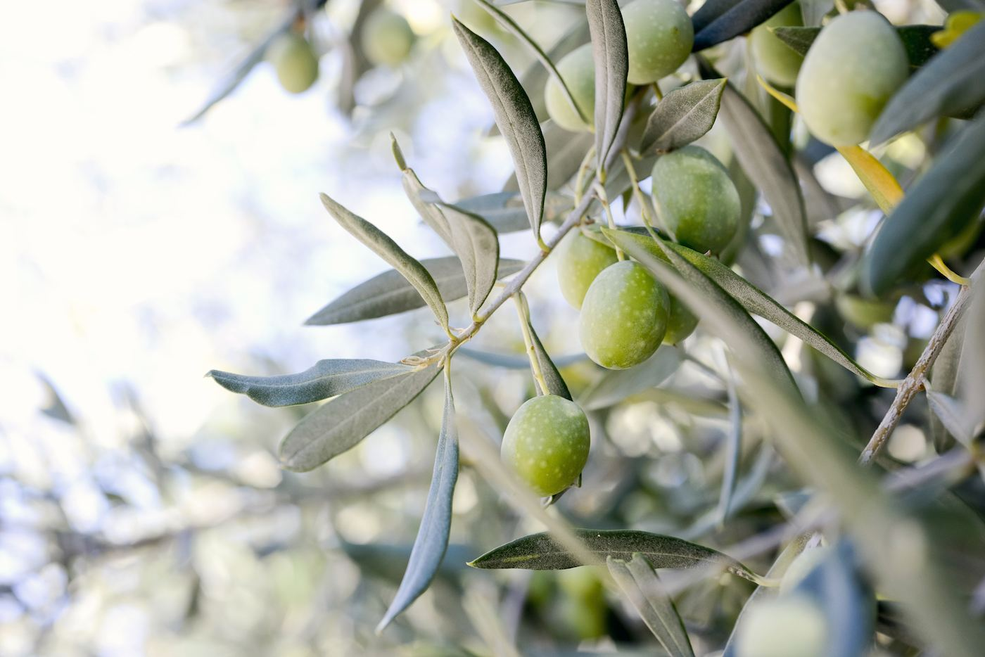 are olives healthy