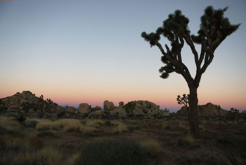 Another reason to hope the government shutdown ends soon: To save Joshua Tree's trees