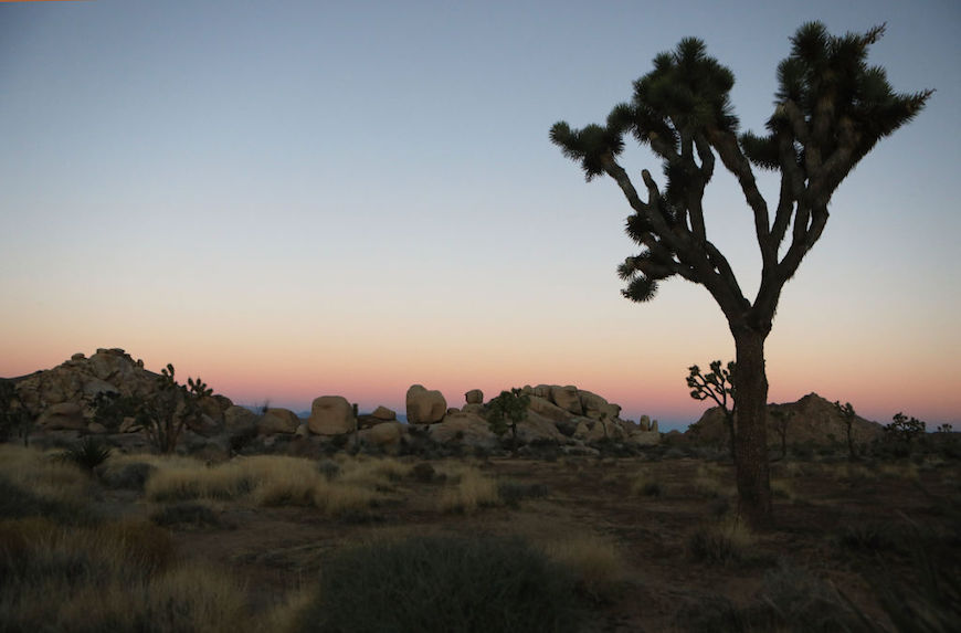 Thumbnail for Another reason to hope the government shutdown ends soon: To save Joshua Tree's trees