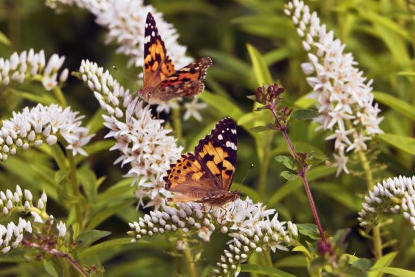 Millions of butterflies are dancing among the wildflowers in California—and you need to see it to believe it