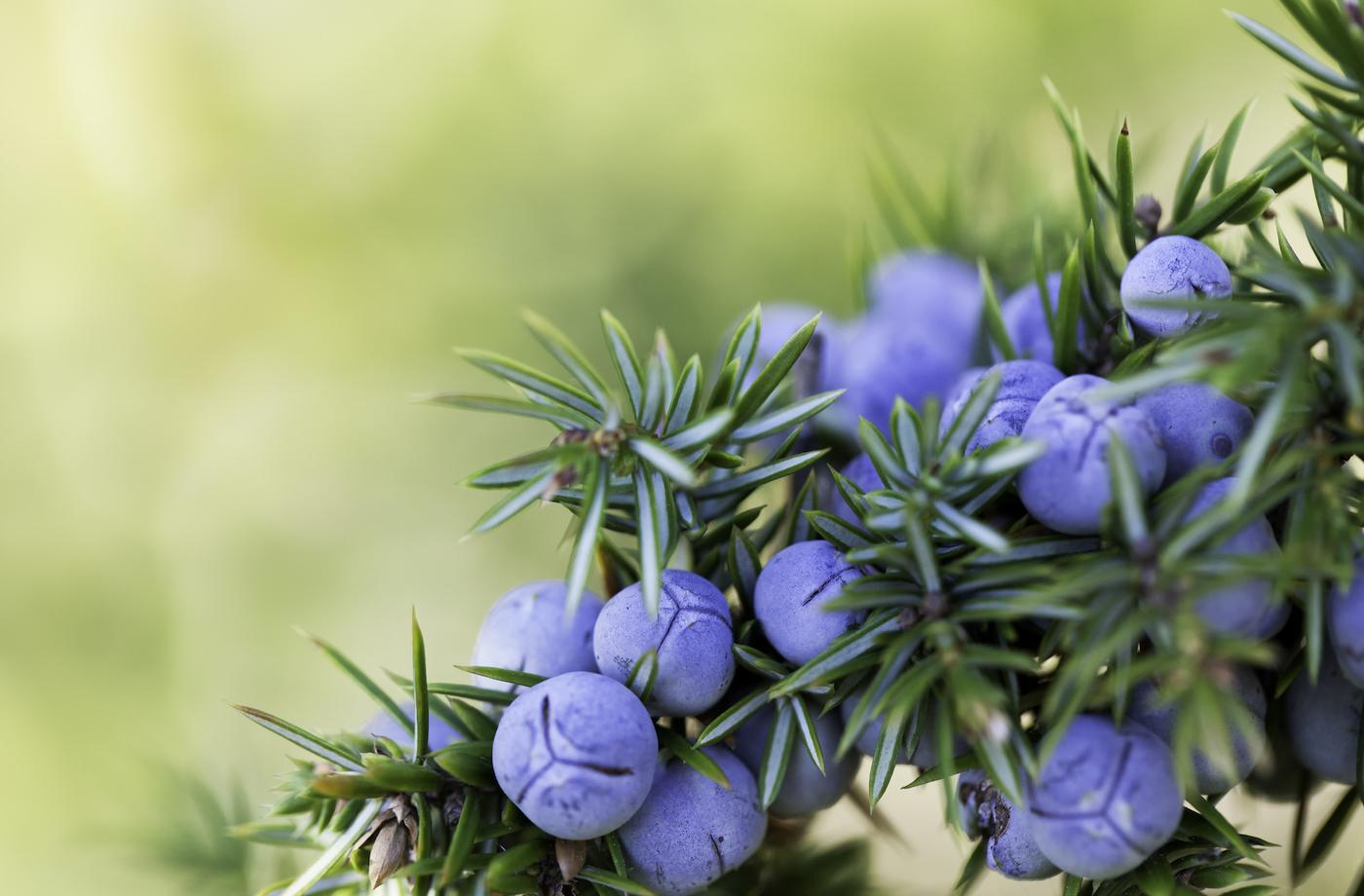 Move over vitamin C: Juniper is another sickness-busting ingredient you need to know about