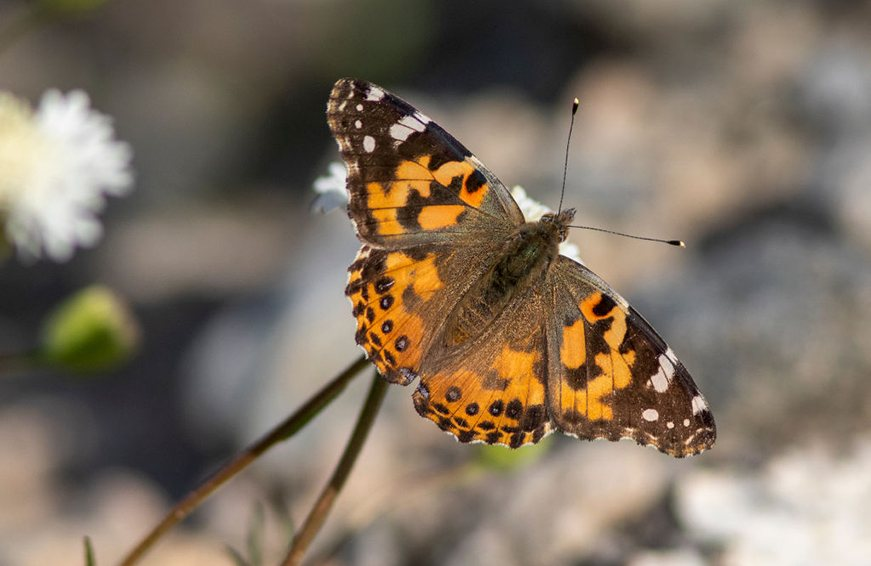 Thumbnail for Millions of butterflies are dancing among the wildflowers in California—and you need to see it to believe it