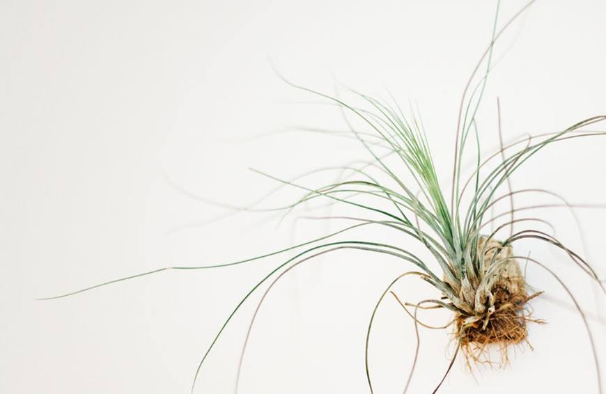 How to water air plants—because yes, you need to