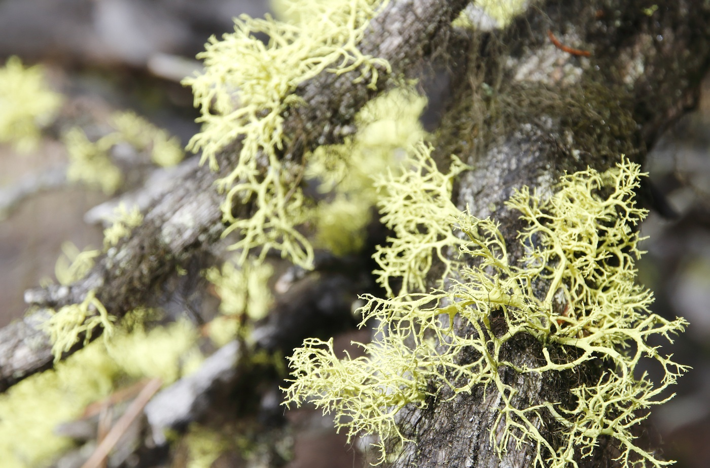 Usnea benefits for health should be taken with caution