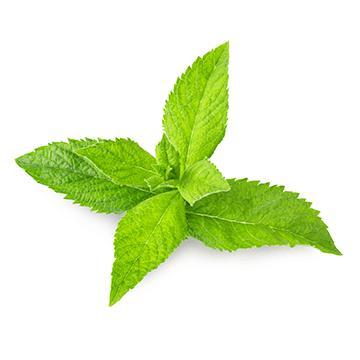 fresh mint,