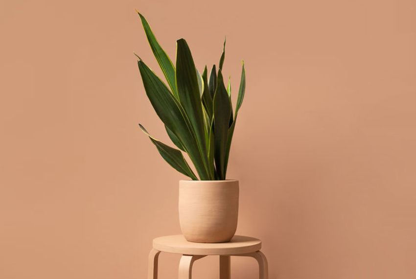 Snake plant care is easy, according to someone with a green thumb