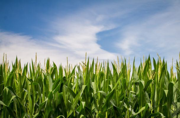 The next frontier of GMOs: fighting climate change?