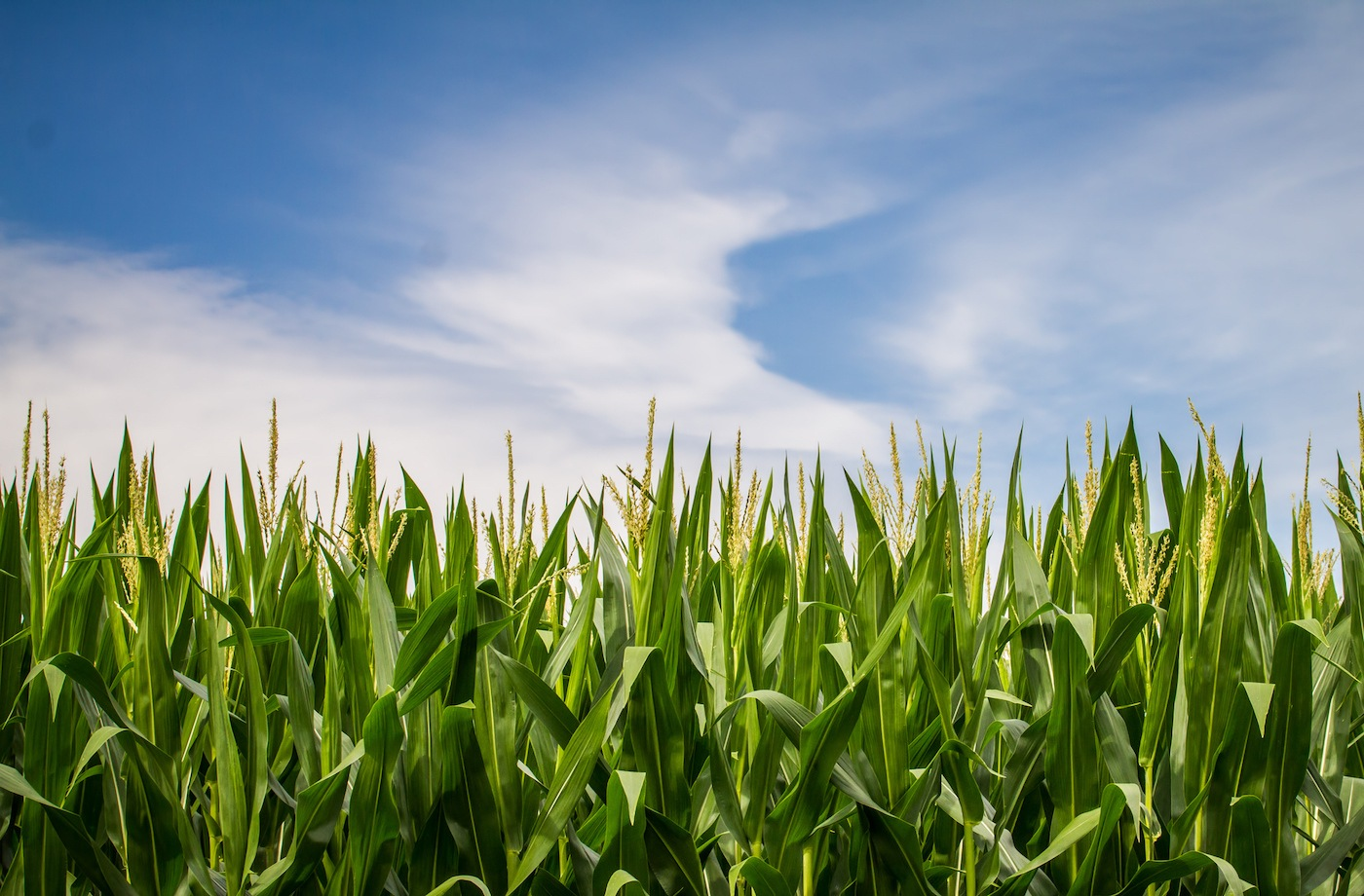 Thumbnail for The next frontier of GMOs: fighting climate change?