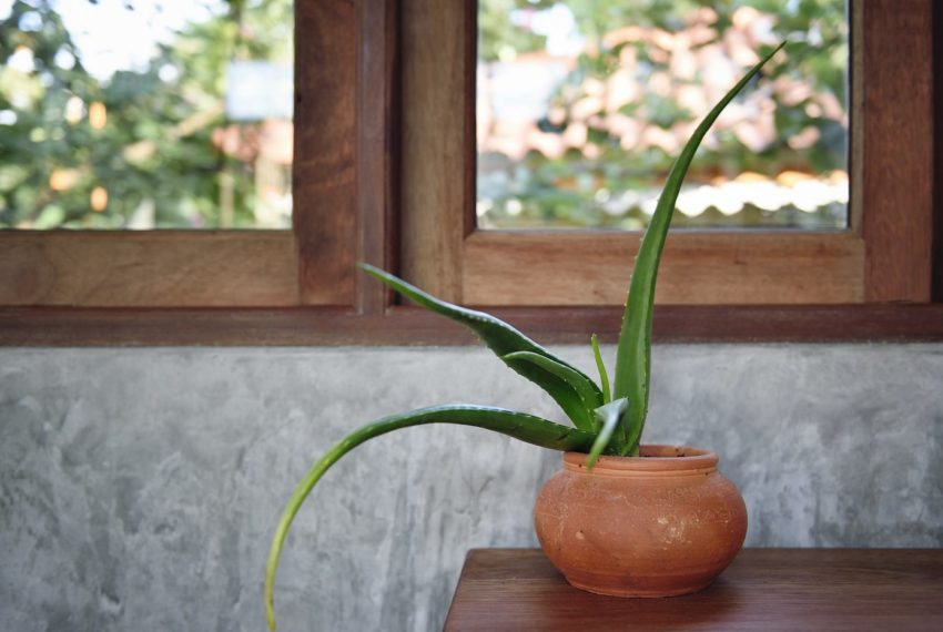 How to Care for Your Aloe Plant and Make It Really Thrive All Year Long