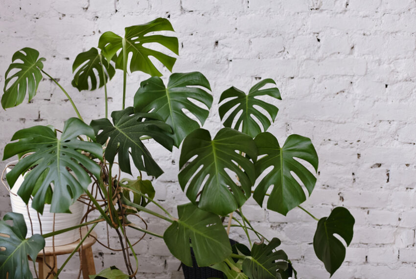 How to Care for Your Monstera, the Most Stunning Houseplant of All