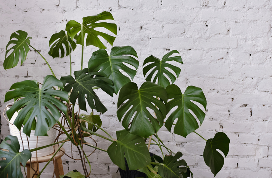 Thumbnail for How to care for your monstera, the most stunning houseplant of all