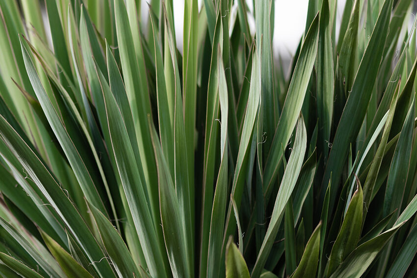 How to Care for Your Yucca Plant, the Biggest Succulent of All