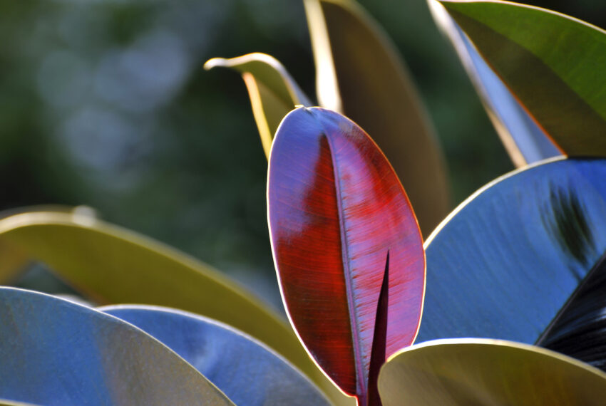 The Newest Trend in Houseplants? Black Leaf Varieties