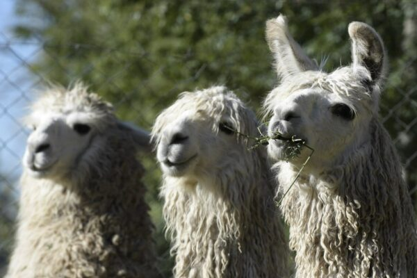 Breaking Down the Therapeutic Impact of Animals Like 'Caesar the No Drama Llama'