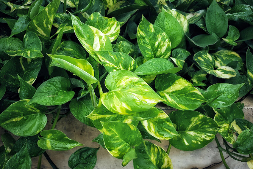 How To Care for Pothos, the Sturdy Green Beauty *Anyone* Can Keep Alive