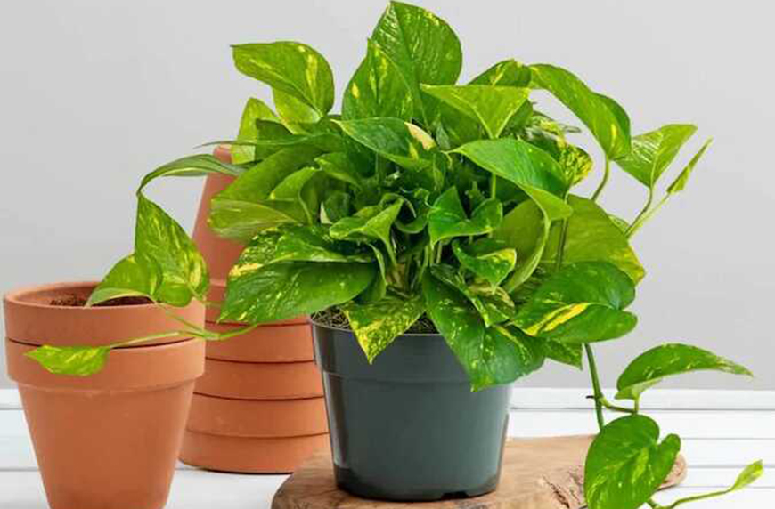 how to care for a pothos