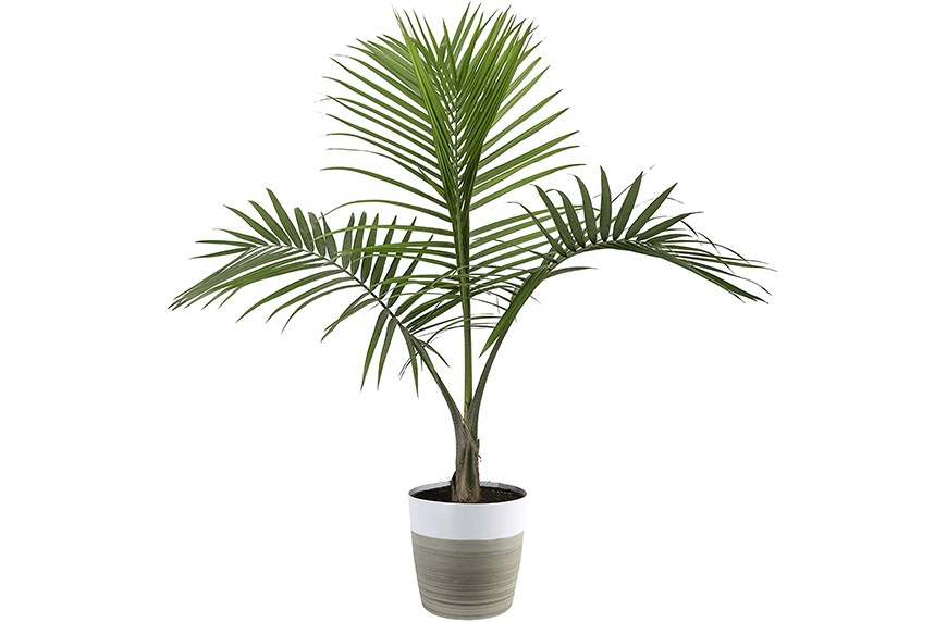 Costa Farms Majesty Palm Tree, Amazon Prime Day plant deals