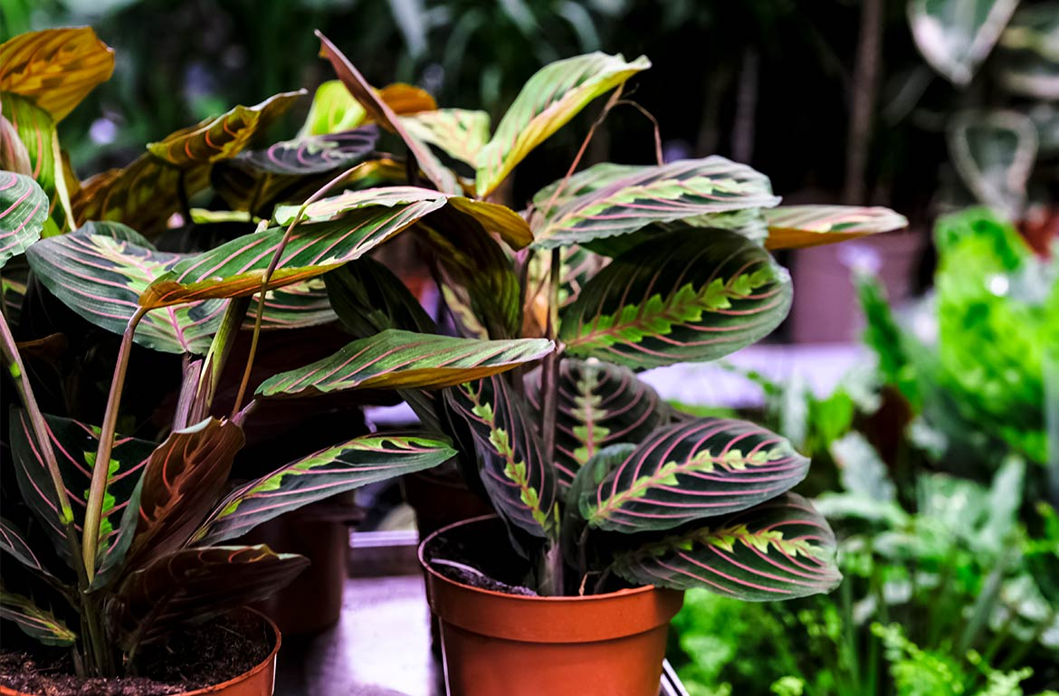 The Red Maranta Prayer Plant Is 2021 Plant of the Year—Here's How To Care for It