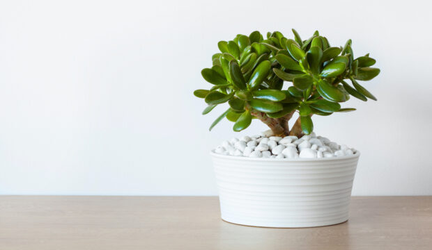 Here's How To Care For the Low-Maintenance Jade Plant