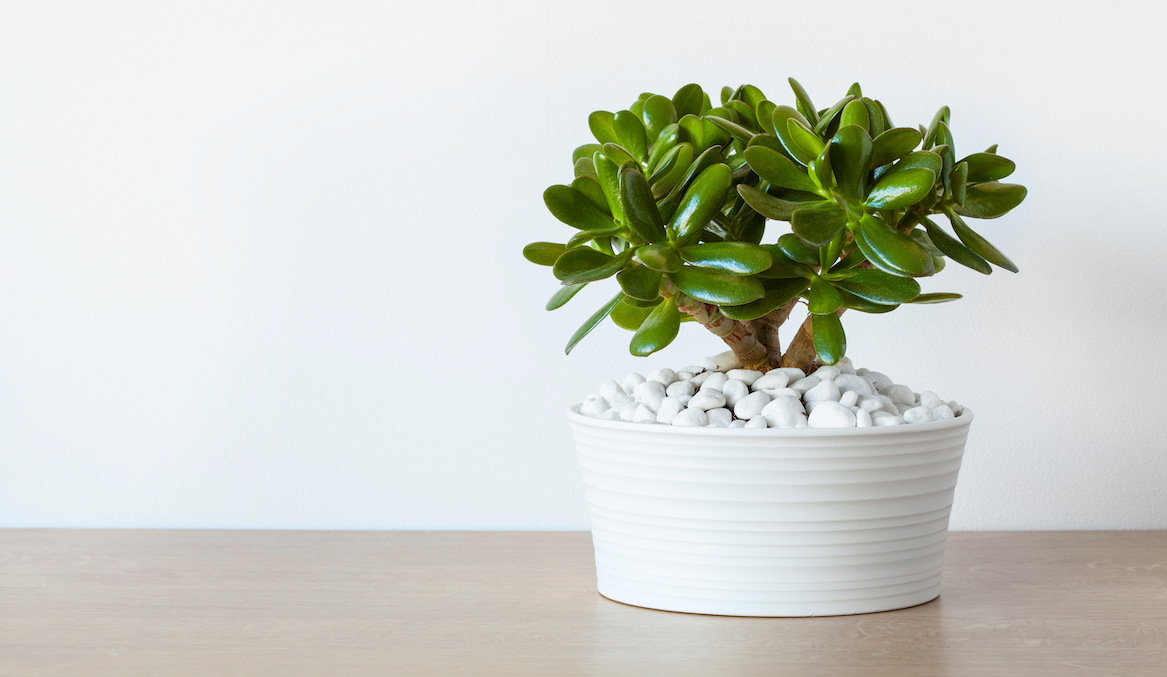 Thumbnail for Here's How To Care For the Low-Maintenance Jade Plant