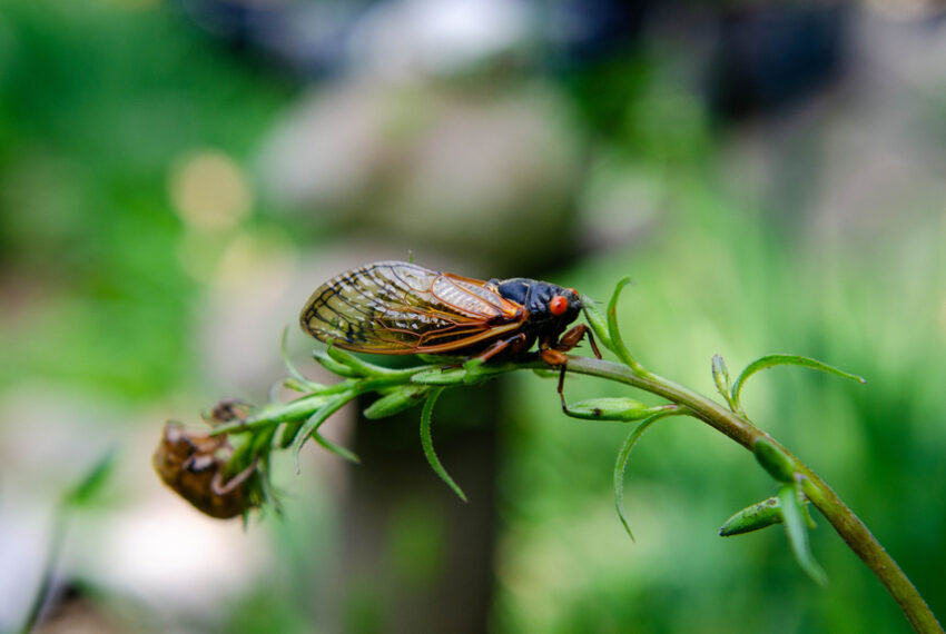 How To Protect Your Garden From *Billions* of Cicadas