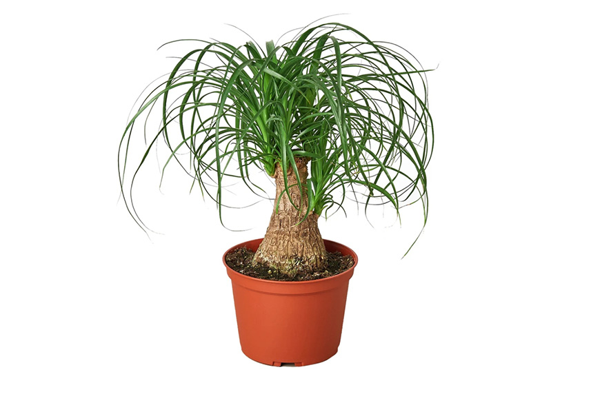 """House Plant Shop Palm Ponytail 6"""" Pot, cozy outdoor space"""