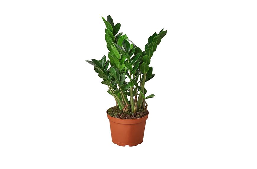 """Zamioculcas Zamiifolia ´ZZ´ 4"""" Pot, cozy outdoor space"""