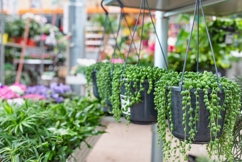 Everything You Need to Know About String Succulents and How To Buy Them