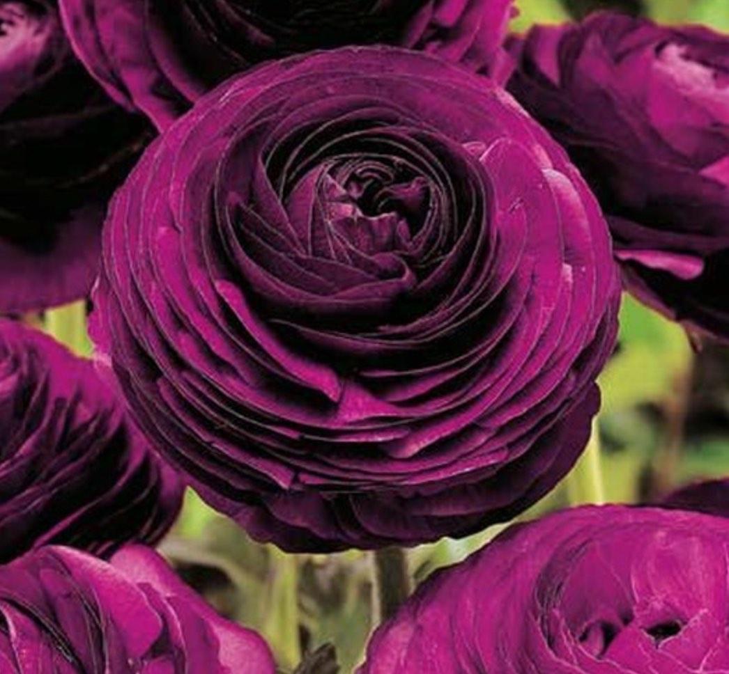 Violet Ranunculus bulbs, fall perennials
