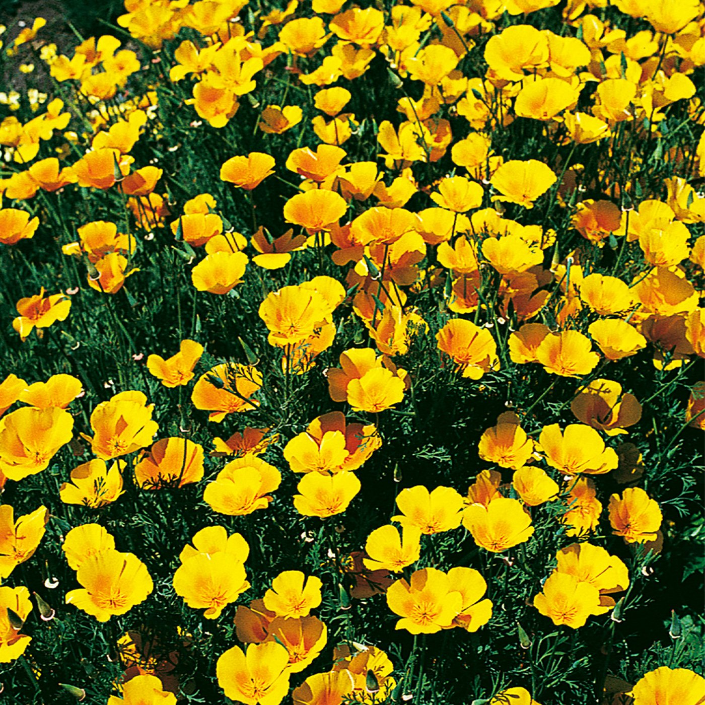 California Poppy Seeds, Extra Golden Flower