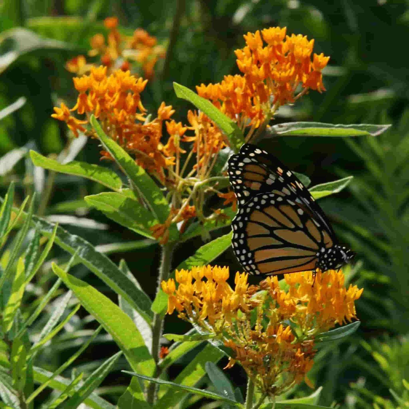 Butterfly Weed Seeds, wild flowers to plant in autumn
